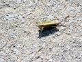 Criquets sauterelles GV 2014 105