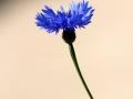 Fleurs 01121